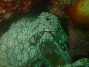 octopus on Manuel Antonio Reef