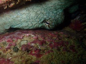 octopus hiding under a rock