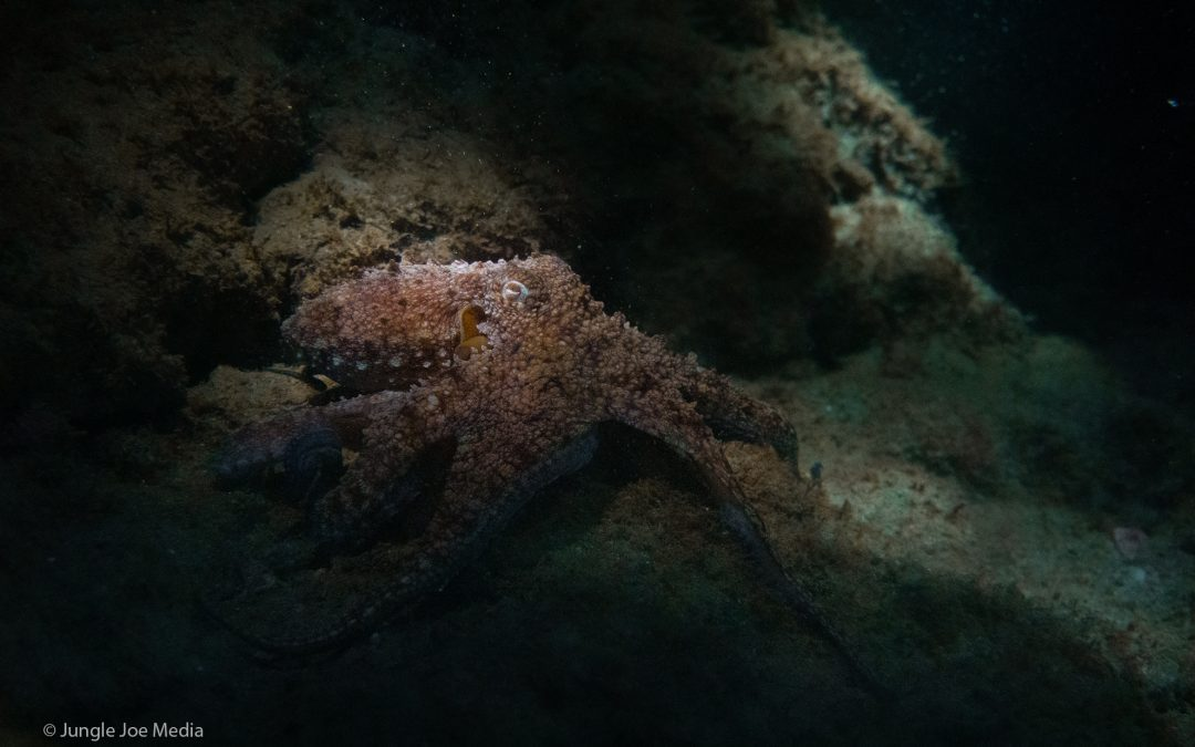 Octopus Ecology program