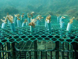 Coral restoration in Costa Rica
