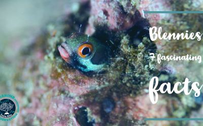 The Stay at home Blenny – 7 fascinating facts