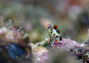 blenny fascinating facts