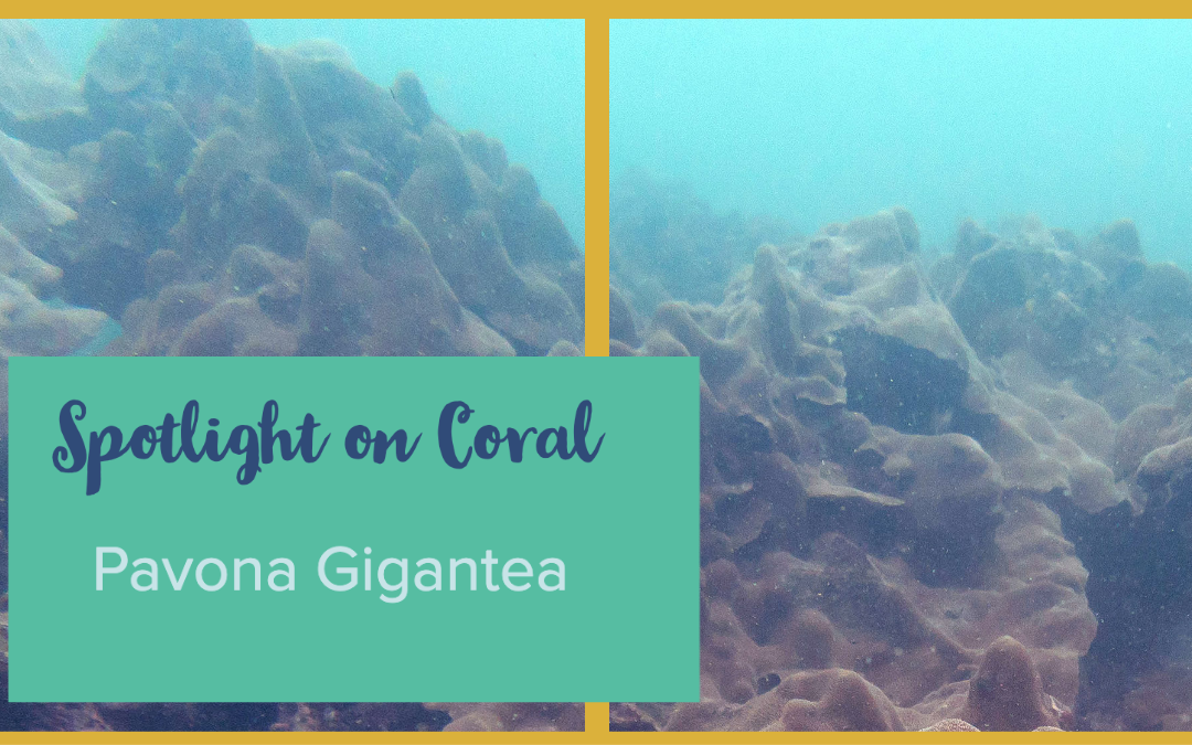 Spotlight on Coral – Pavona gigantea