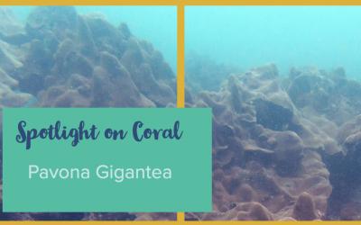 Spotlight on Coral – Pavona gigantea