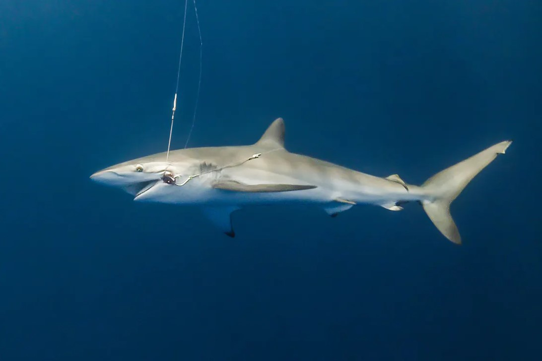 Protect sharks in Costa rica